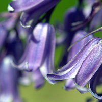Buy canvas prints of Bluebells in Bloom by Gregory Culley