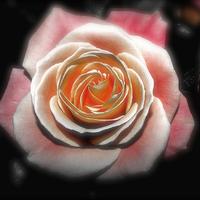 Buy canvas prints of Sunday Rose  by Sally Lloyd