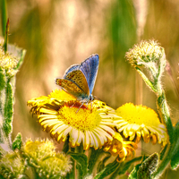 Buy canvas prints of  Common blue.  by paul cobb