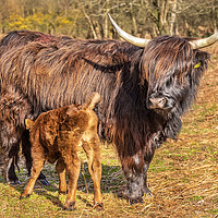 Buy canvas prints of Highland Mother and Calf by Dave Rowlatt