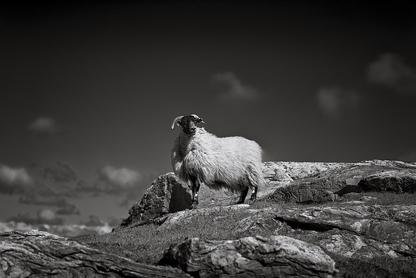 Isle of Harris sheep Framed Print by Scott Robertson