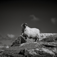 Buy canvas prints of  Isle of Harris sheep by Scott Robertson
