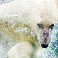Buy canvas prints of  Polar Bear by Patrycja Polechonska