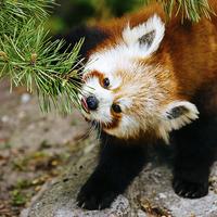 Buy canvas prints of  Red Panda Tongue by Patrycja Polechonska