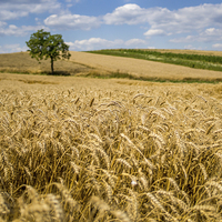 Buy canvas prints of Wheat and A Tree by Patrycja Polechonska