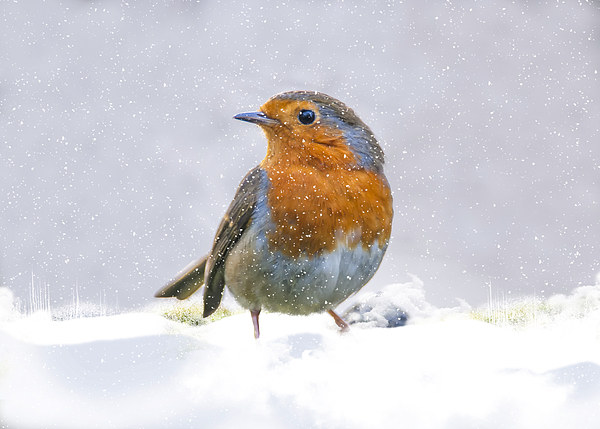 The Winter Visitor Canvas Print by Tanya Hall