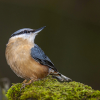 Buy canvas prints of  Nuthatch by Tanya Hall