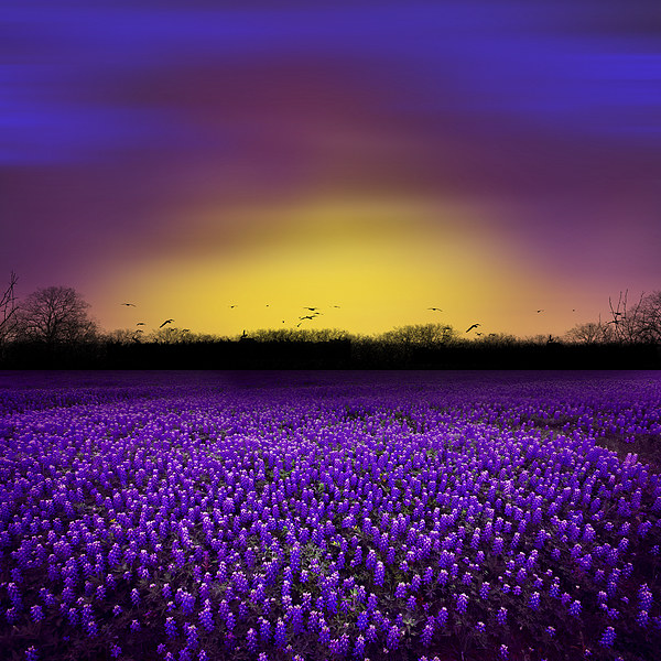 Golden Hour - Purple Floral Field and Dramatic Sky Canvas print by Tanya Hall