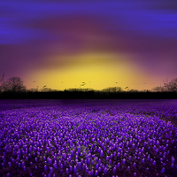 Buy canvas prints of Golden Hour - Purple Floral Field and Dramatic Sky by Tanya Hall