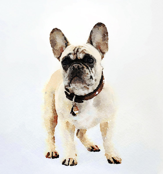 French Bulldog Print Canvas print by Tanya Hall