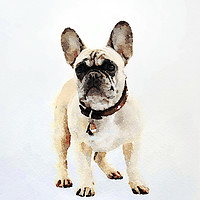 Buy canvas prints of French Bulldog Print by Tanya Hall
