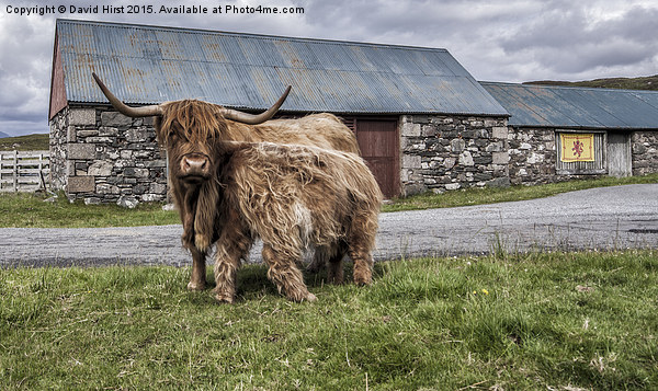 Highland cows Canvas print by David Hirst