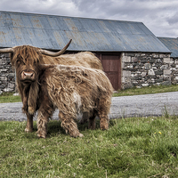 Buy canvas prints of  Highland cows by David Hirst