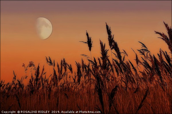 Moon over Reeds Canvas print by ROSALIND RIDLEY