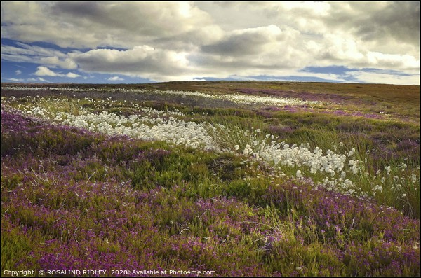 """""""Storm clouds over heather and cotton grass"""" Framed Mounted Print by ROSALIND RIDLEY"""
