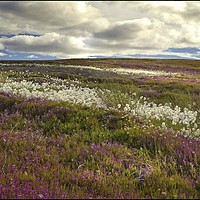 """Buy canvas prints of """"Storm clouds over heather and cotton grass"""" by ROSALIND RIDLEY"""