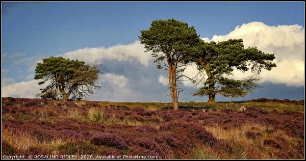 """""""Trees on the moors"""" Framed Mounted Print by ROSALIND RIDLEY"""