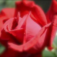 Buy canvas prints of  Red Rose by Andrew Heaps