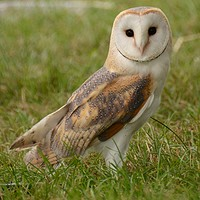 Buy canvas prints of Barn owl by Andrew Heaps