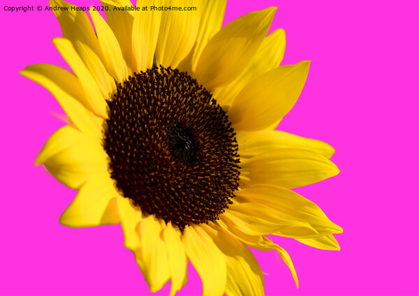 Sunflower head with pink back ground and bee on flower. Print by Andrew Heaps