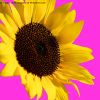 Buy canvas prints of Sunflower head with pink back ground and bee on flower. by Andrew Heaps