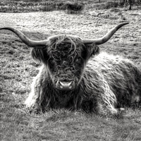 Buy canvas prints of Highland cow in black and white by Andrew Heaps