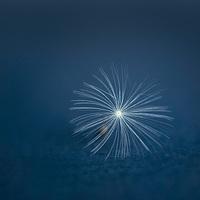 Buy canvas prints of Dandelion seed by Inguna Plume