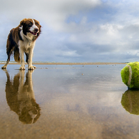 Buy canvas prints of  Dog v Ball by Alan Simpson