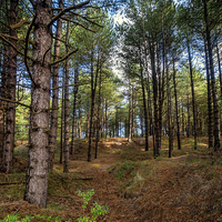 Buy canvas prints of  Holkham Woods by Alan Simpson