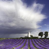 Buy canvas prints of Norfolk Lavender by Alan Simpson