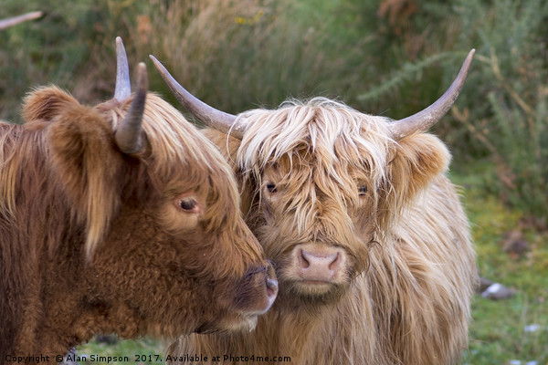 Highland Cows Canvas print by Alan Simpson