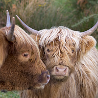 Buy canvas prints of Highland Cows by Alan Simpson