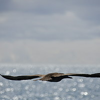 Buy canvas prints of Booby and the Pacific by Simon Hackett