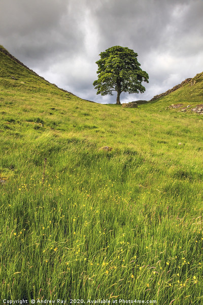 Sycamore Gap Canvas print by Andrew Ray