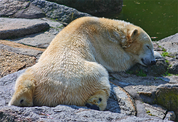 Sleepy Polar Bear Canvas print by Paul Piciu-Horvat