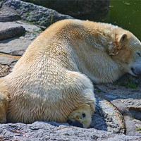 Buy canvas prints of Sleepy Polar Bear by Paul Piciu-Horvat
