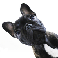 Buy canvas prints of French Bulldog by Jeremy Moseley