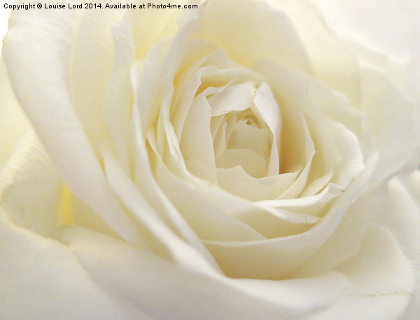 White Rose Canvas print by Louise Lord