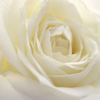 Buy canvas prints of  White Rose by Louise Lord