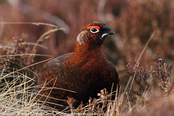Red Grouse in Heather Canvas print by Sonja McAlister