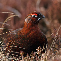 Buy canvas prints of Red Grouse in Heather by Sonja McAlister