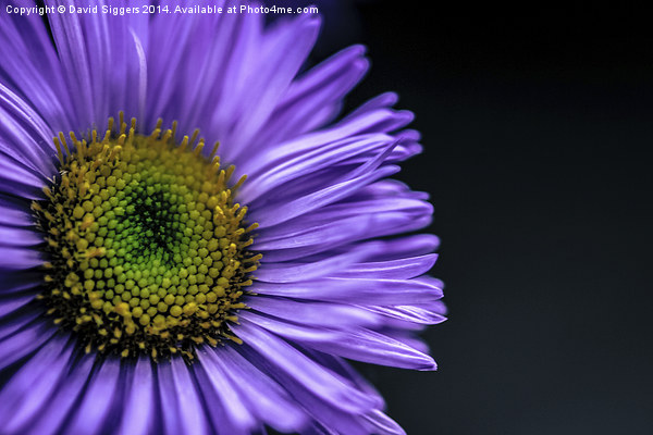 Flower Macro Photograph Canvas print by David Siggers