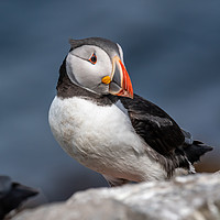 Buy canvas prints of North Atlantic Puffin by Marcia Gain