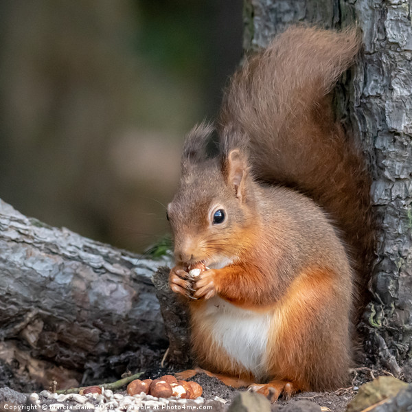 Red squirrel Canvas Print by Marcia Gain