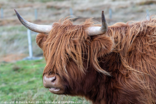 Highland Cattle Canvas print by Marcia Gain