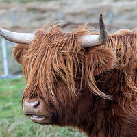 Buy canvas prints of Highland Cattle by Marcia Gain