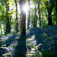 Buy canvas prints of Morning sunlight in a bluebell wood by Andrew Kearton