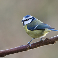 Buy canvas prints of  Blue tit by Robert Stocker