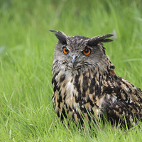 Buy canvas prints of  Eurasian Eagle Owl by Robert Stocker