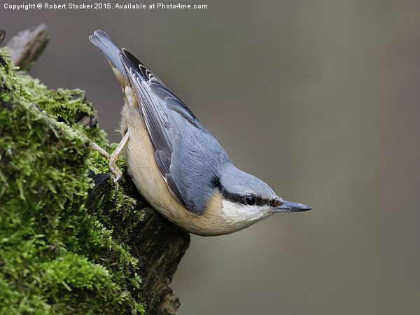 Woodland Nuthatch Canvas Print by Robert Stocker